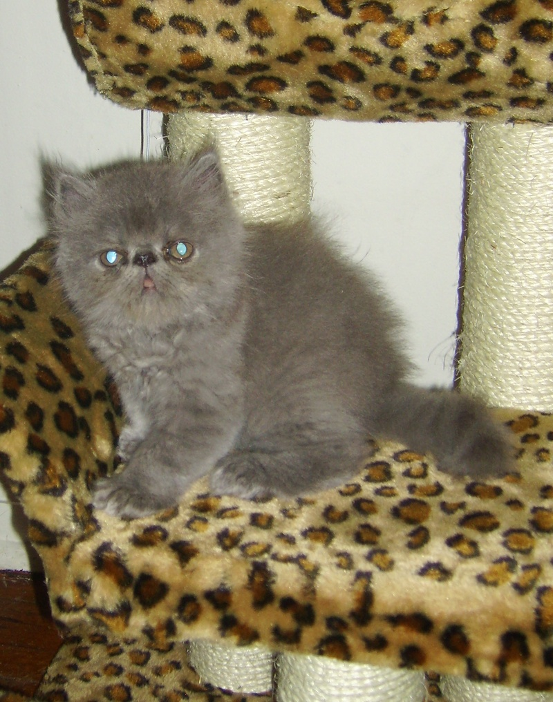 Enrapture Blue male kitten